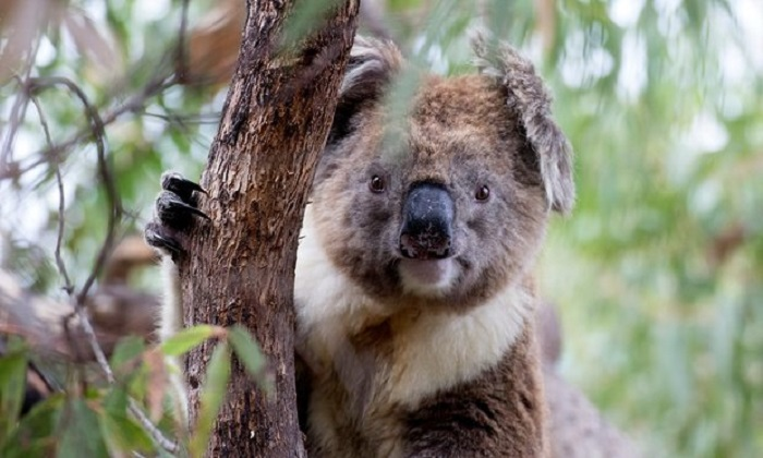 Policies to protect koalas create political dispute in Australia's largest state