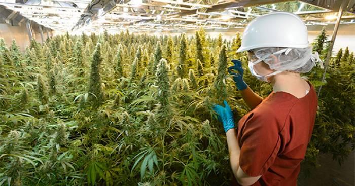 Italie: premier pas vers la légalisation du cannabis thérapeutique