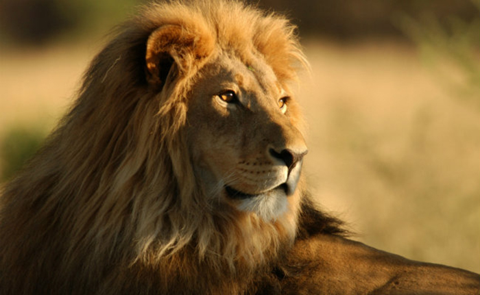 Africa`s most iconic predator - the Lion - is declining almost everywhere