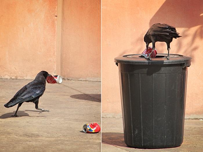 Krähe möchte den Müll wegwerfen - VIDEO