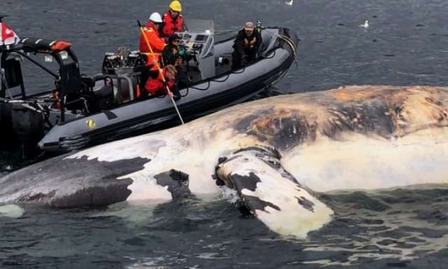 North Atlantic right whales on the brink of extinction, officials say