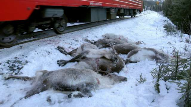 More than 100 reindeer dead in Norway after getting hit by freight train