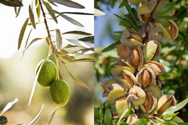New olive and almond orchards to be planted in Absheron