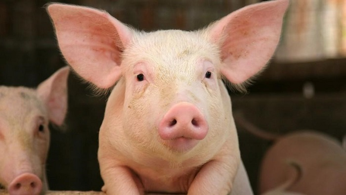 Pigs' hearts could be transplanted into humans 'within three years'