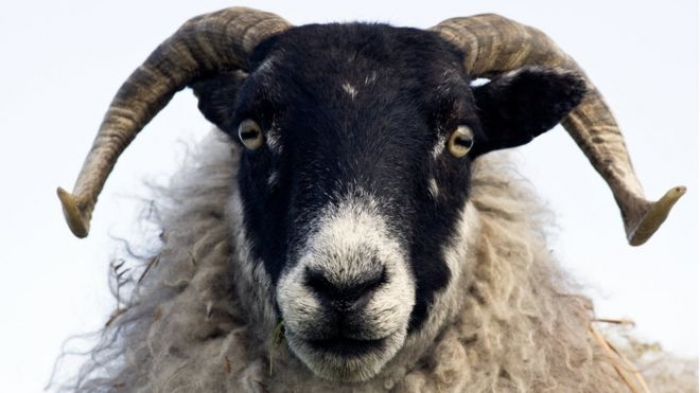 Sheep 'can recognise human faces'