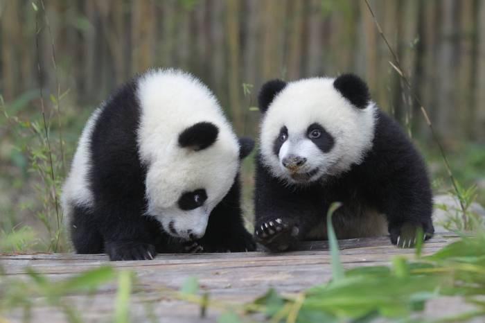 En Chine, la vidéo de bébés pandas maltraités par des soigneurs provoque un énorme scandale