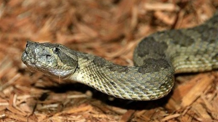 Snakes had back legs for 70 million years before losing them