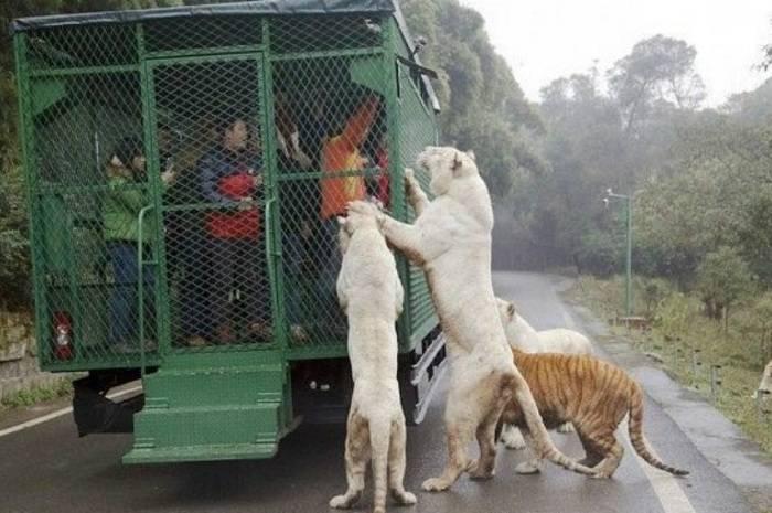 El zoológico donde los humanos son la carnada-VIDEO